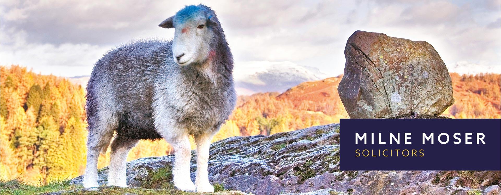 Milne Moser Solicitors Jon Allison Herdwick Sheep